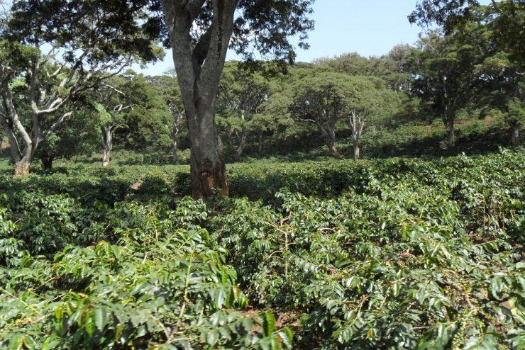 Arusha Coffee Farm